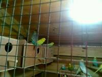 10 PAIRS OF BUDGIES