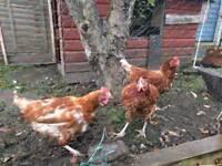 Three laying hens