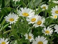 Tall perennial Shasta daisy
