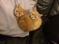 Female and male ginger kittens