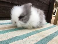 Fluffy Lionheads to reserve