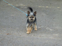 Beautiful Teacup Yorkshire Terrier