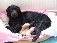 F1B Miniature Labradoodle Pups - Now 1 Black Boy Left