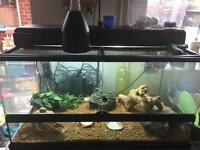 Leopard Gecko and full setup