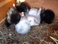 Baby Lionhead mini lop buck rabbits