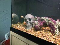 Bonded pair clown fish clownfish