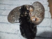 3 baby kittens ready 30th march now sold all deposits paid