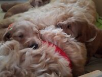 Beautiful labradoodle pups, only two left!
