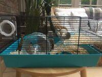 Roborovski Dwarf Hamster (3 months old)
