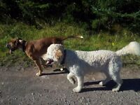 Professional Experienced Fully Insured Dog Walker Dog Training Perthshire