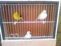 canarys 3 pairs borders and cages for them a block 6 in one cage 120 pound