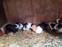 10 week old guinea pigs