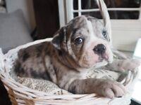 6 Beautiful Old English Bulldog Puppies (Merles)