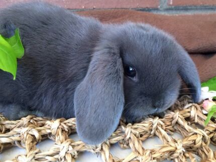 Beautiful litter of lilac VC pure breed mini lop babies ready now .