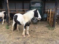 Friendly project pony
