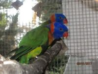 red collared lorikeet 2016 with dna
