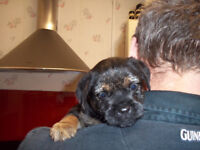 Border Terrier Puppy KC Reg Male For Sale