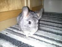 Gorgeous 8 Month Old Male Chinchilla Needs A Home