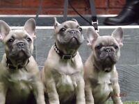 French Bulldog Puppies - WOW!
