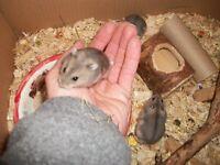 baby russian dwarf hamsters