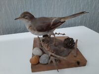 Taxidermy Waxwing mounted on naturalistic base