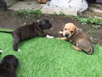 !!! GORGEOUS PUPPIES STAFF FOR SALE !! READY TO COLLECT