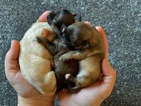Stunning chihuahua puppies.