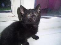 Lovely little black kitten
