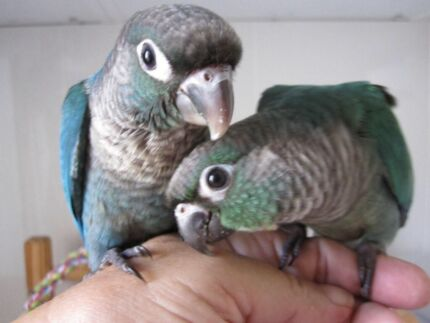 WANTED BLUE SERIES GREENCHEEK CONURE MALE Upper Coomera Gold Coast North Preview
