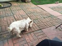 West Highland Terrier 6 years old fully inoculated and micro chipped great with kids - suit retired