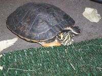 2 year old male yellow belly Terrapin for sale
