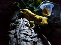 Two Male Crested Gecko's