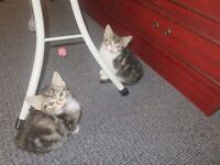 Playful cute siberian & british blue cross kittens 8 weeks ready for new & GOOD HOME ONLY!!!!!