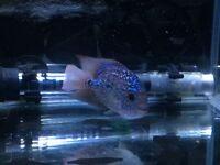 Pearly Kamfa Flowerhorn Shortbody Male £145 ONO