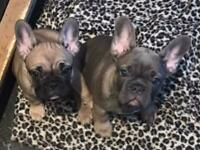 REDUCED!!Ready Now!!Last Two 💗💙KC French bulldog puppies, ready 4.10.21