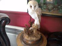 Taxidermy vintage barn owl