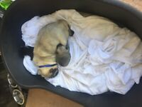 Pug puppy Little boy £1500