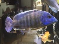 African Malawi Peacock Cichlids