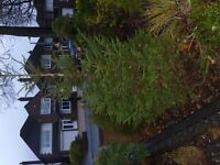 Tree 2.4m