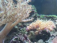 Collection of Marine fish, corals and shrimp for sale - closing down Marine reef tank.