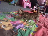 BENGAL KITTENS FOR SALE. BROWN SPOTTED. 3 GIRLS.ready now. £275 each.