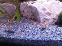 Cherry shrimp and bristlenose plecos