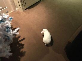 White Rabbit Dwarf Lop Eared Male
