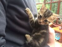 1 male and 3 female kittens for sale