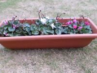Three Beautiful Pink & White Cyclamen Plants in Large Plastic Terracotta Colour Planter Box