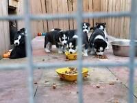 Black and white husky pups