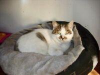Male tabby & White Cat