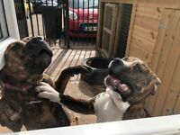 Two American Bulldog Puppies Dogs for sale with Outdoor Kennel, Food etc 8 months old Ready to go