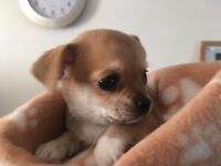Absolutely Tiny Chihuahua Pups