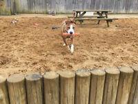 Lovely Staffordshire Bull Terrier